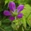 Florent Beck - Geranium L.