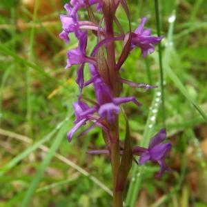 Photographie n°803898 du taxon Gymnadenia R.Br.