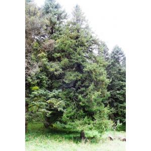 Picea purpurea Mast.