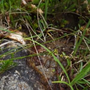 Photographie n°803945 du taxon Carex echinata Murray