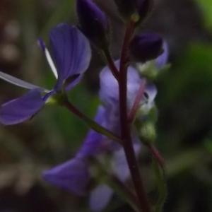 Photographie n°804016 du taxon Veronica L.
