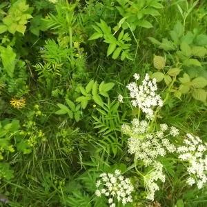 Photographie n°804062 du taxon Angelica sylvestris L. [1753]