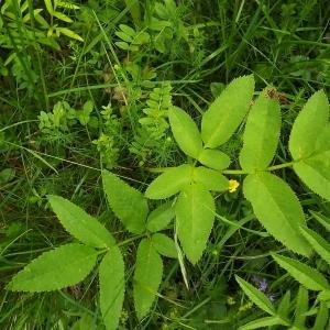 Photographie n°804065 du taxon Angelica sylvestris L. [1753]