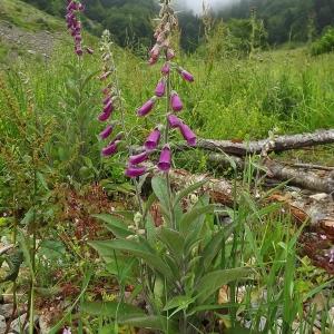 Photographie n°804136 du taxon Digitalis purpurea L.