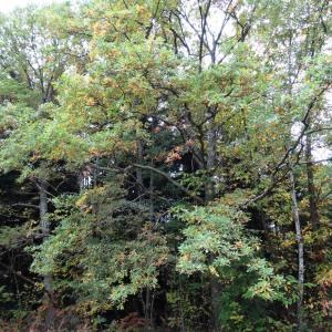 Photographie n°804366 du taxon Quercus robur L. [1753]