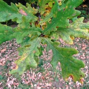 Photographie n°804370 du taxon Quercus robur L. [1753]