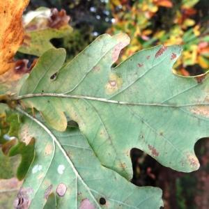 Photographie n°804380 du taxon Quercus robur L. [1753]