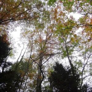 Photographie n°804441 du taxon Quercus palustris Münchh.