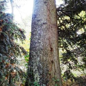 Photographie n°804442 du taxon Quercus palustris Münchh.