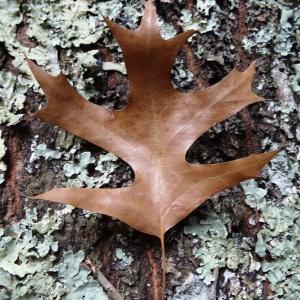 Photographie n°804444 du taxon Quercus palustris Münchh.