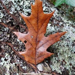 Photographie n°804448 du taxon Quercus palustris Münchh.