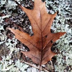 Photographie n°804460 du taxon Quercus palustris Münchh.