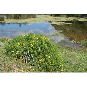 Ononis natrix subsp. ramosissima (Desf.) Batt. (Bugrane très ramifiée)