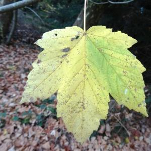 Photographie n°804714 du taxon Acer pseudoplatanus L.