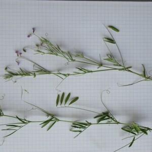 Photographie n°805865 du taxon Vicia tetrasperma subsp. gracilis (Lois.) Hook.f.
