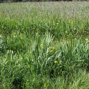 Photographie n°806373 du taxon Iris pseudacorus L. [1753]