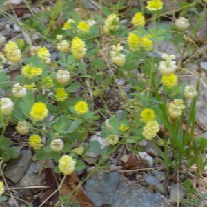 Photographie n°806422 du taxon Trifolium campestre C.C.Gmel. [1808]
