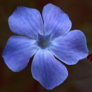 Photographie n°806494 du taxon Vinca difformis Pourr. [1788]