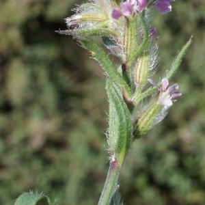 Photographie n°807070 du taxon Silene gallica L. [1753]