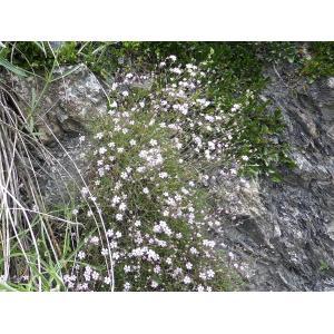 Gypsophila sp.