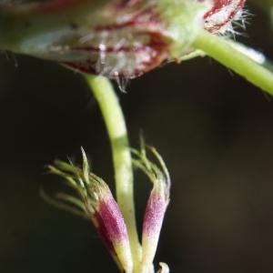 Photographie n°807960 du taxon Trifolium subterraneum L. [1753]