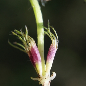 Photographie n°807961 du taxon Trifolium subterraneum L. [1753]