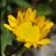 Liliane Roubaudi - Coleostephus myconis (L.) Cass. ex Rchb.f. [1854]