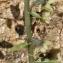 Liliane Roubaudi - Epipactis helleborine subsp. lusitanica (D.Tyteca) J.M.Tison [2010]