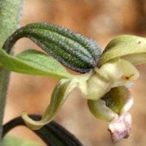 Photographie n°809834 du taxon Epipactis helleborine subsp. lusitanica (D.Tyteca) J.M.Tison [2010]