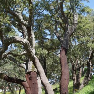 Photographie n°810127 du taxon Quercus suber L. [1753]