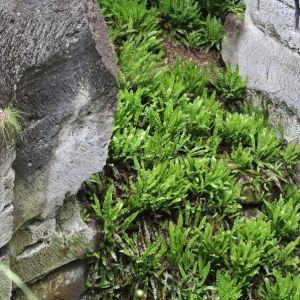 Photographie n°812863 du taxon Asplenium scolopendrium L. [1753]