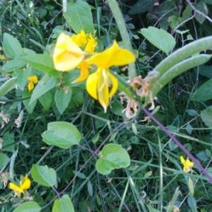 Photographie n°813395 du taxon Fabaceae