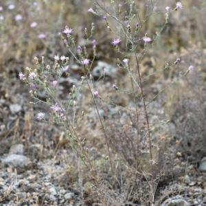 Photographie n°813459 du taxon Centaurea paniculata L. [1753]