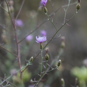 Photographie n°813464 du taxon Centaurea paniculata L. [1753]