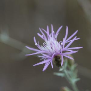 Photographie n°813471 du taxon Centaurea paniculata L. [1753]