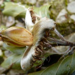 Photographie n°814132 du taxon Fagus sylvatica L.