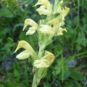 Photographie n°815309 du taxon Pedicularis ascendens Schleich. ex Gaudin [1810]