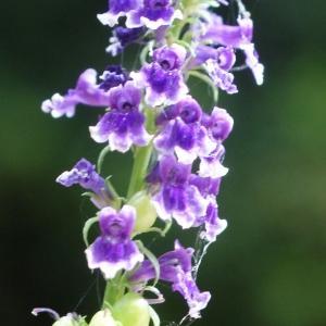 Photographie n°815701 du taxon Anarrhinum bellidifolium (L.) Willd.