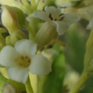 Photographie n°816410 du taxon Daphne gnidium L. [1753]