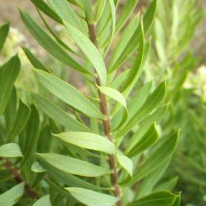 Photographie n°816418 du taxon Daphne gnidium L. [1753]