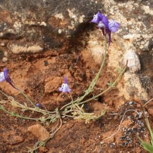 Photographie n°816539 du taxon Linaria amethystea (Vent.) Hoffmanns. & Link [1820]