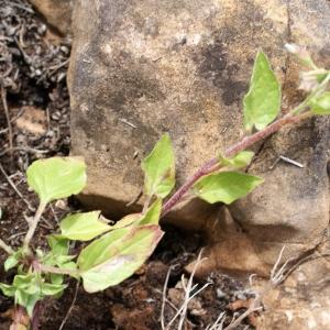 Photographie n°816666 du taxon Convolvulus siculus L.