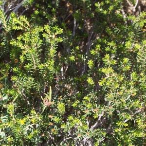 Photographie n°816745 du taxon Corema alba (L.) D.Don [1830]