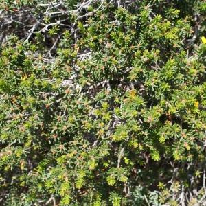 Photographie n°816746 du taxon Corema alba (L.) D.Don [1830]