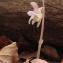 Philippe Thomas - Epipogium aphyllum Sw. [1814]