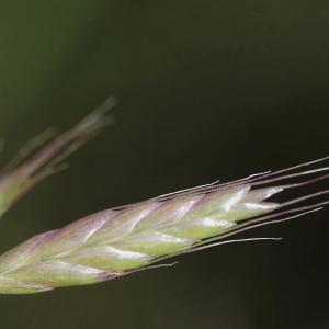 Photographie n°819437 du taxon Bromus commutatus Schrad. [1806]