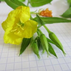 Photographie n°819726 du taxon Oenothera biennis L. [1753]