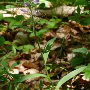 Photographie n°821404 du taxon Cephalanthera rubra (L.) Rich. [1817]