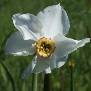 Photographie n°823717 du taxon Narcissus poeticus subsp. poeticus