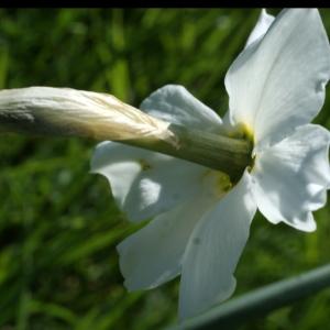 Photographie n°823718 du taxon Narcissus poeticus subsp. poeticus
